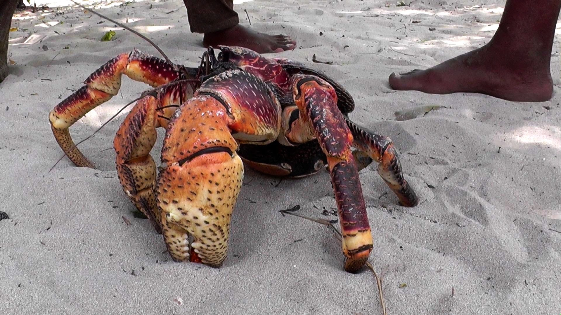 coconut crab, 5 things you shouldn't search on google